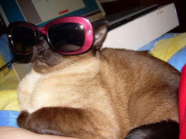 Gambar Kucing Pakai Kacamata godean.web.id