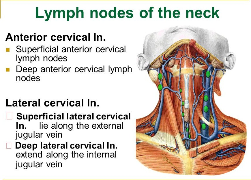 Lymph Nodes In The Neck Anatomy Gallery - human body anatomy
