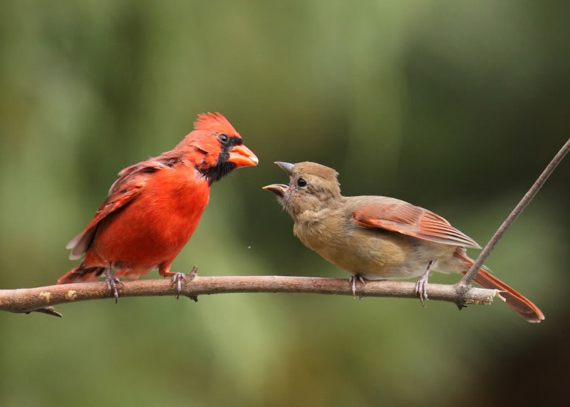 Picture of a male cardinal giving a sunflower seed to a female.
