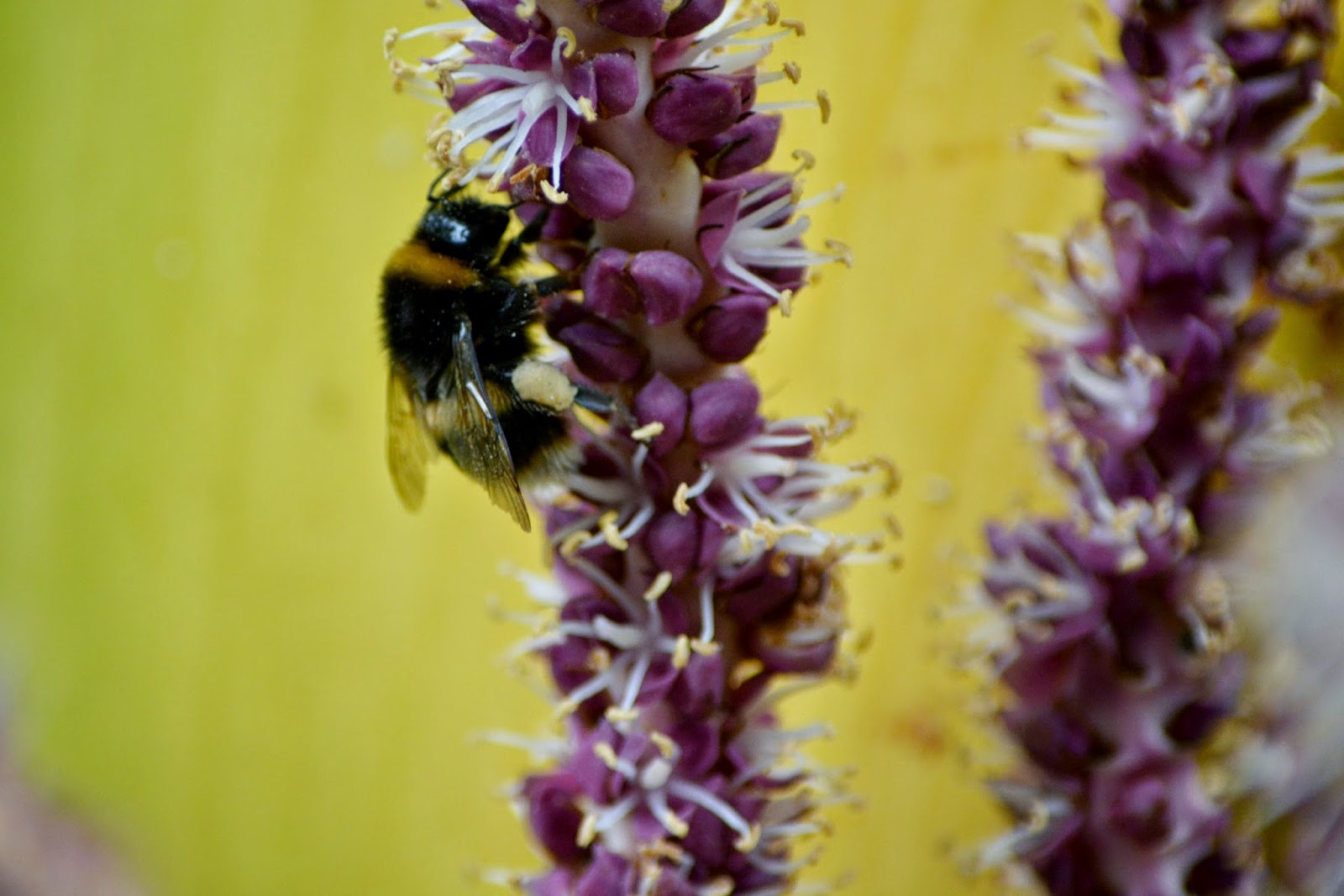 Photograph of a Bee in Tresco Abbey Gardens