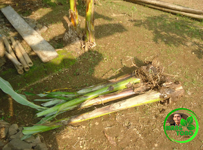 FOTO : Bibit tanaman pisang.
