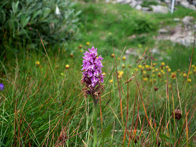 Heath Spotted Orchid / Orchis tacheté. Photographed by Susan of Loire Valley Time Travel https://tourtheloire.com