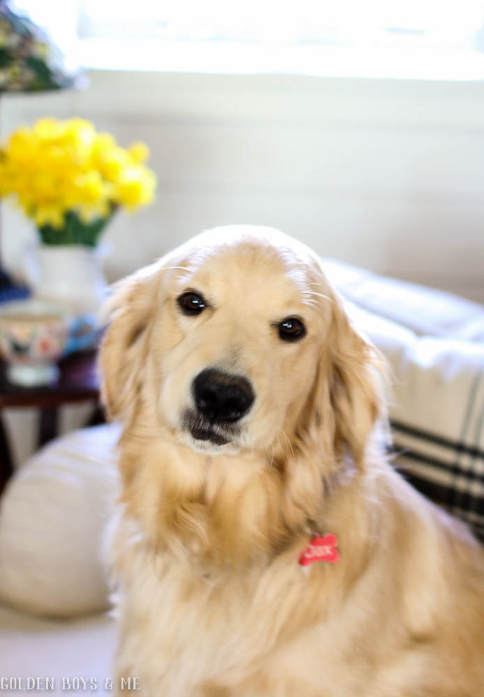 Golden retriever with daffodils and spring decor