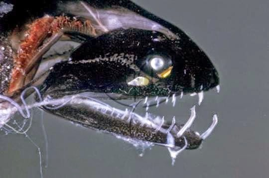 Black alien fish