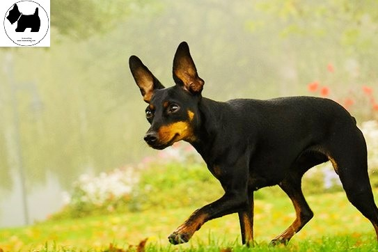 Cutest Dog Breeds, Best Dog, Manchester Terrier Dog puppies