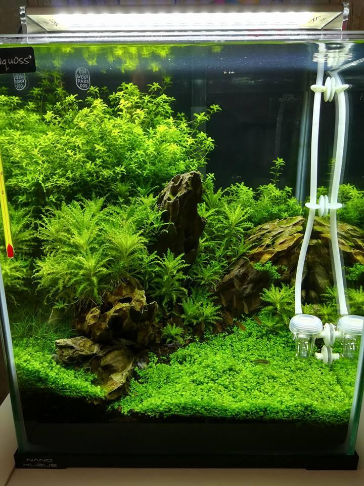 Một hồ thủy sinh mini trồng sao nhỏ