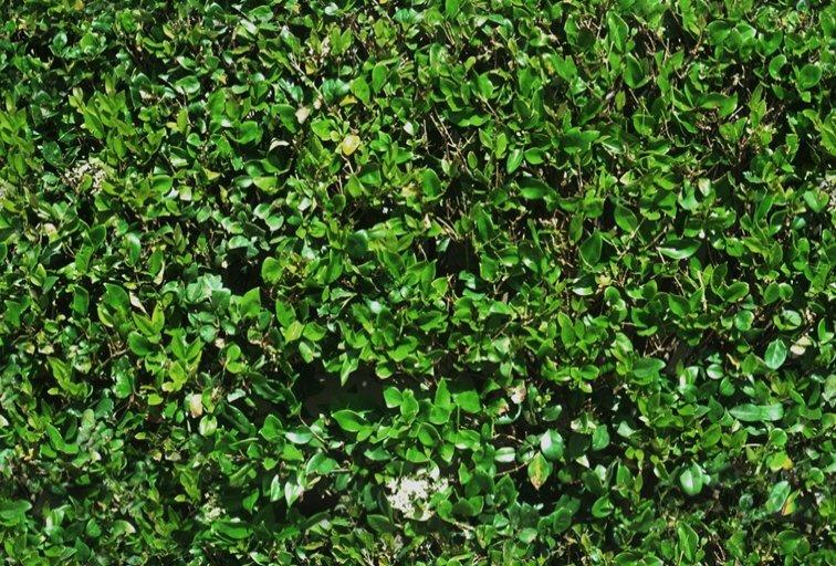 Engineeringradiukcom Texture Siepi Hedges