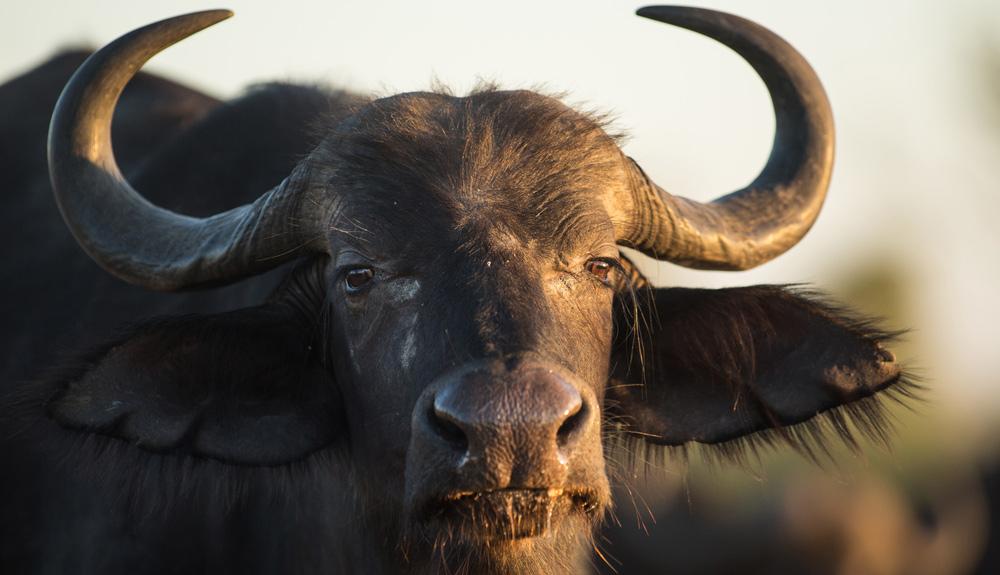 Nahaufnahme von einem Wasserbüffel