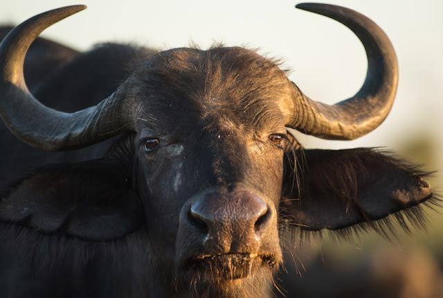 Chez Bio-Suisse: Die Bio Wasserbüffel von Daniel von Guten
