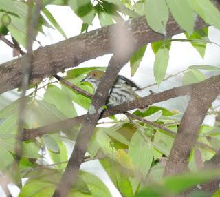 Yellow-vented Flowerpecker (Dicaeum chrysorrheum)