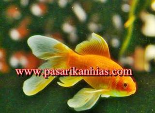 Kumpulan Foto Jenis Ikan Hias Air Tawar