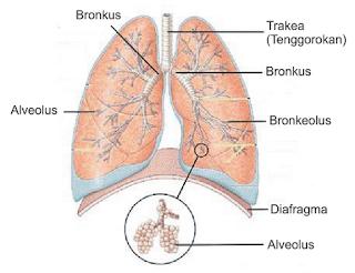 sistem respirasi kelas 11