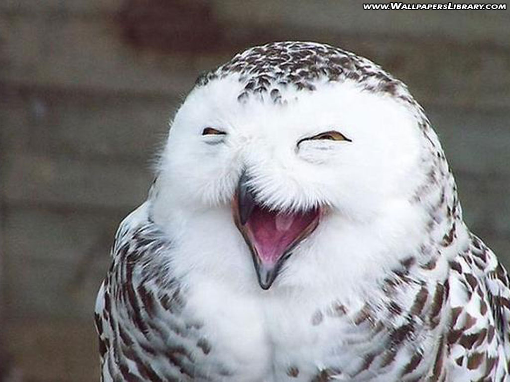 Funny owl wallpaper desktop |Funny Animal - photo#29