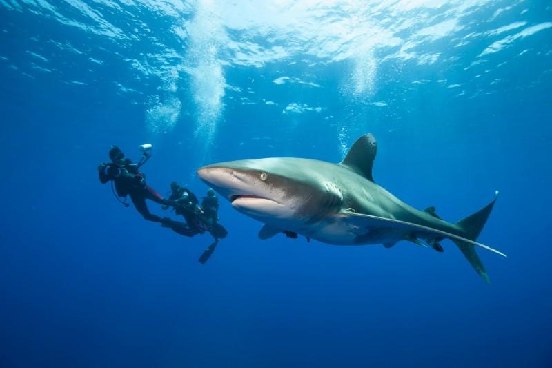 Tubarão Oceânico (Carcharhinus longimanus)