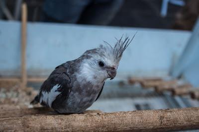 parrot bird information