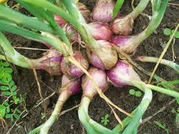 Budidaya bawang merah organik