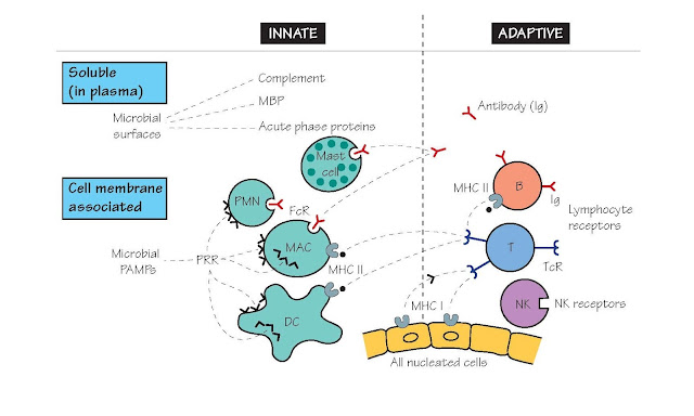 Recognition And Receptors: The Keys To Immunity
