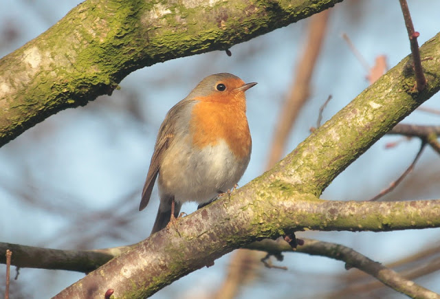 Britain's National and favourite Bird The Robin