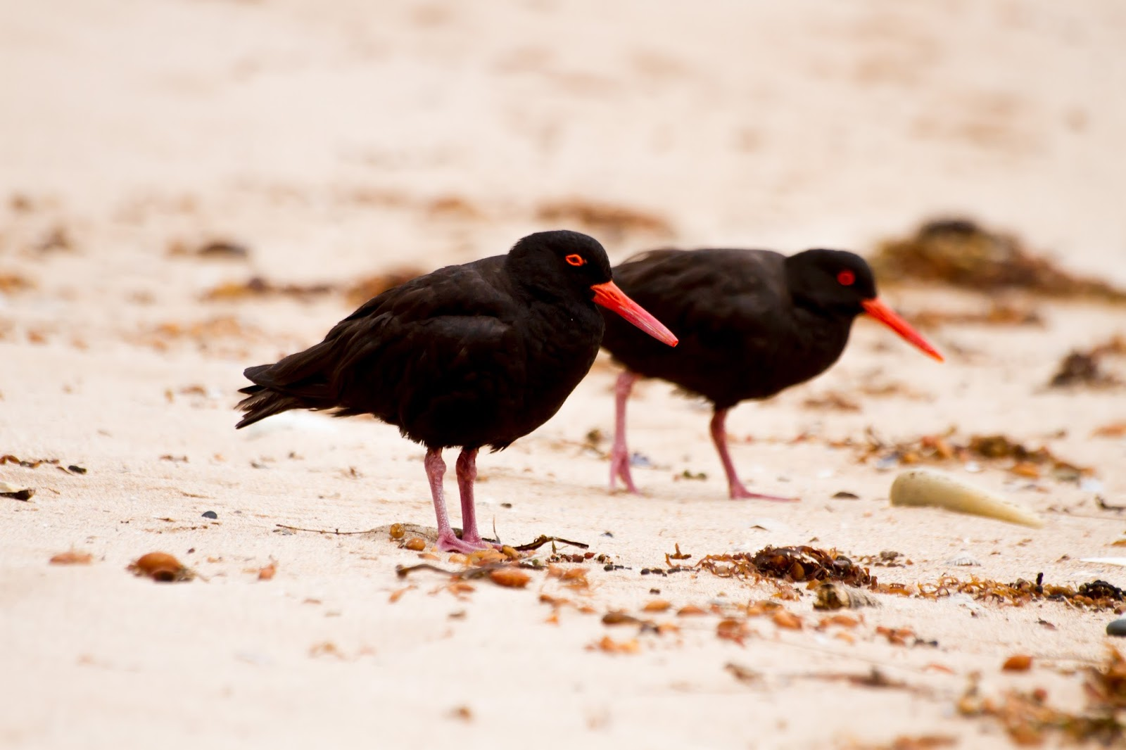Sooty Oystercatchers at Pebbly Beach, NSW, Australia