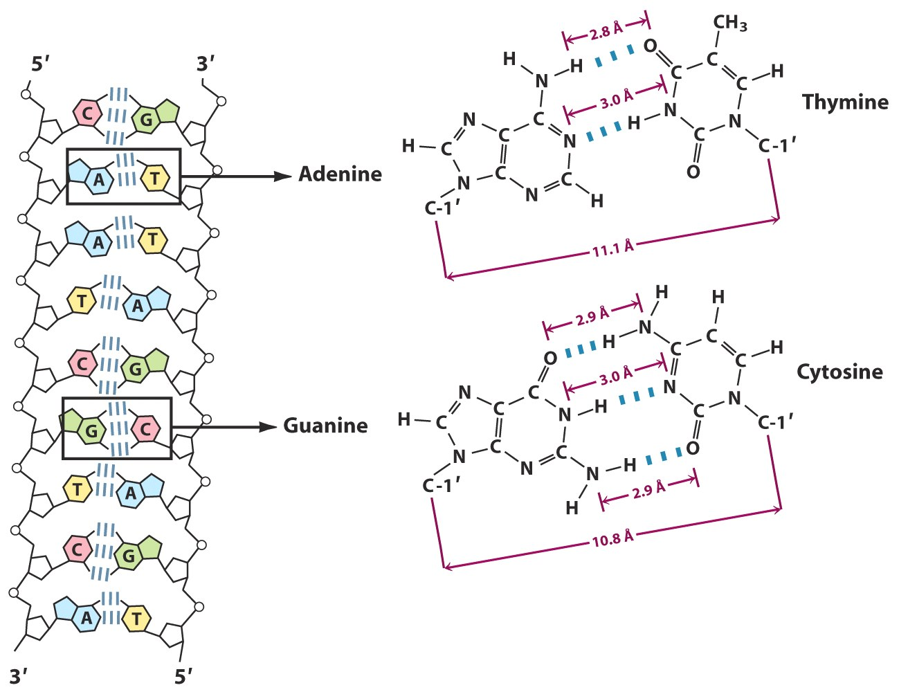 Base Pairing In Dna And Hydrogen Bonding