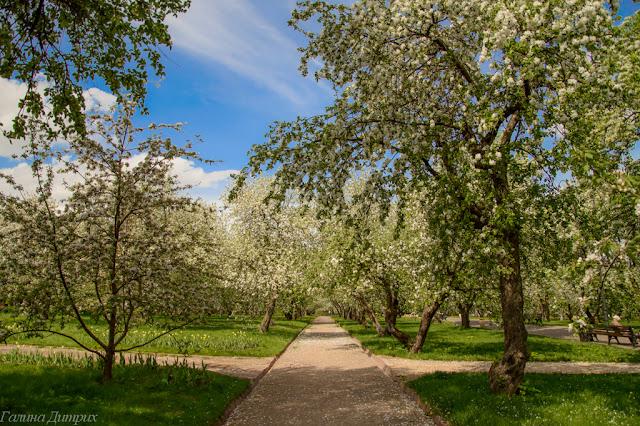 Яблони в Коломенском фото