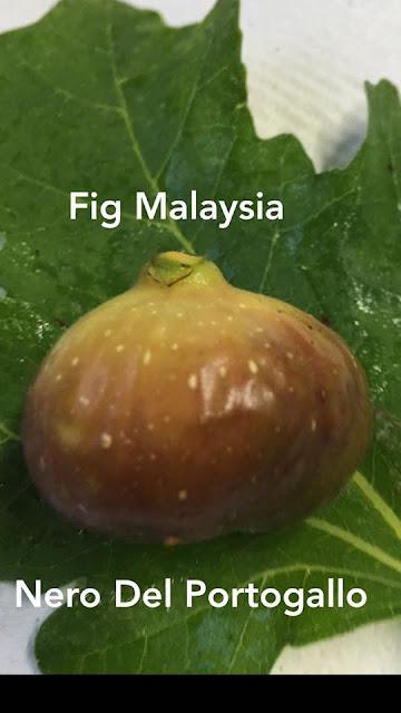 NERO DEL PORTOGALLO Figs