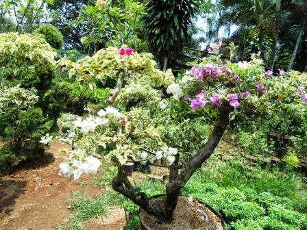 Jual Bonsai Bunga Kertas Bougenville Tanaman Hias Jasa