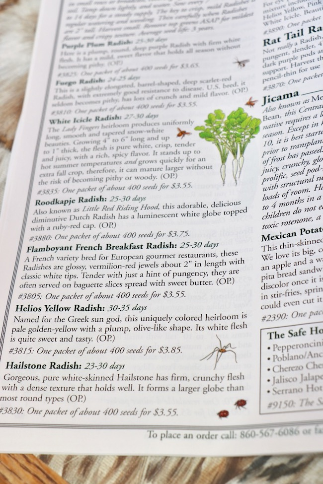 Winter wishes for French garden Breakfast Radish