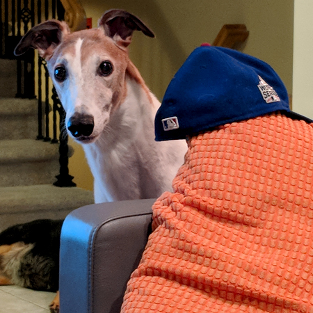 image of Dudley the Greyhound standing next to the couch, where a Cubs baseball cap is resting atop a pillow