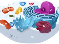 11 Pengertian Lisosom, Struktur dan Fungsi Lisosom