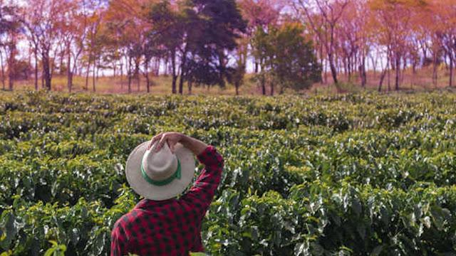 Setor de café do Brasil vê potencial para safra recorde; produtor mantém cautela