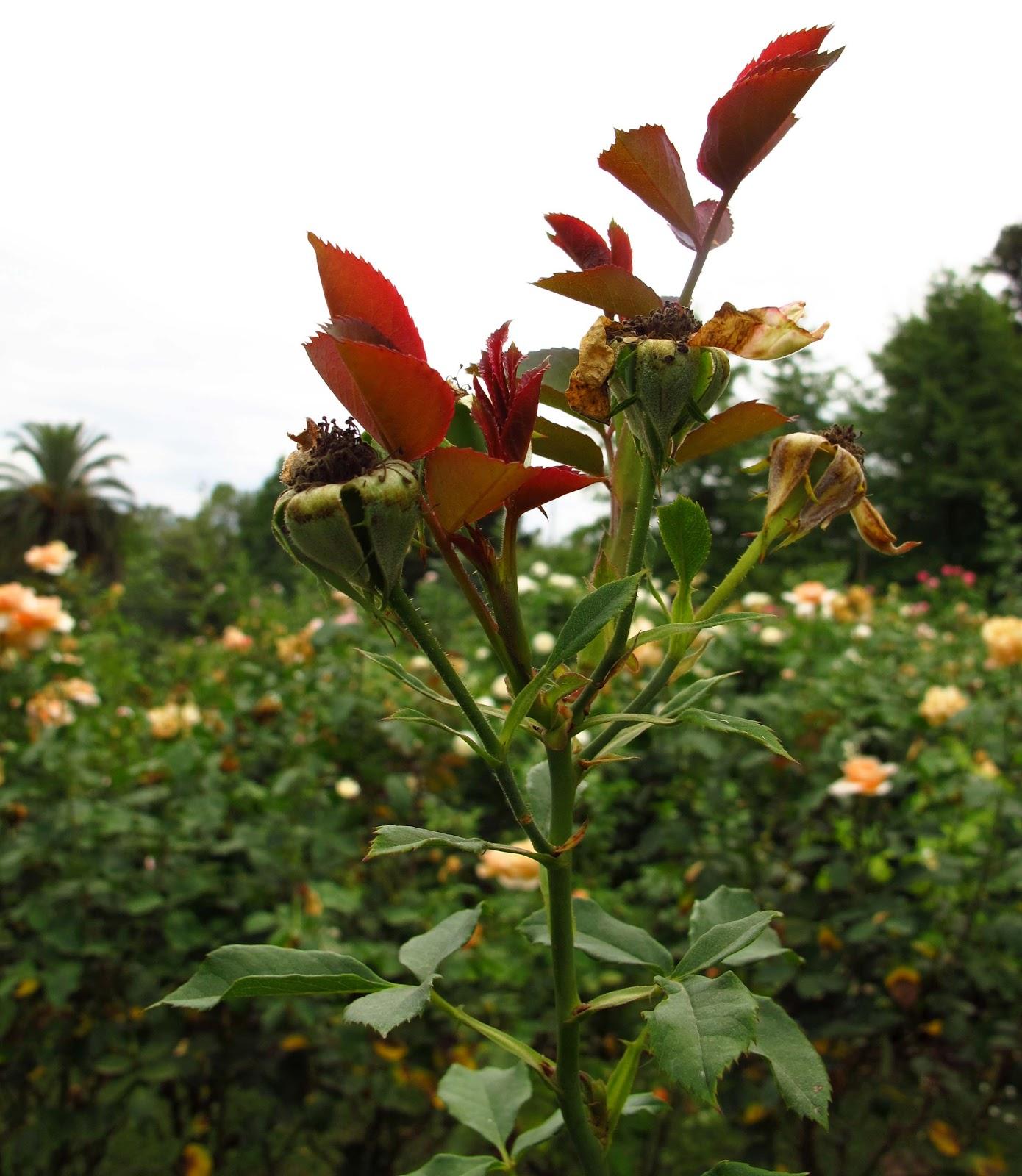 En El Jardin Poda De Rosas En El Verano