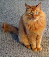 "Orange tabby cat with a typical ""M"" marking"