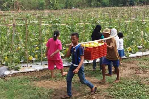 pegiat pertanian di majalengka berhasil panen melon golden