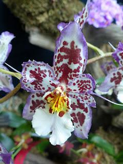Beallara - Brassia x Cochlioda x Miltonia x Odontoglossum