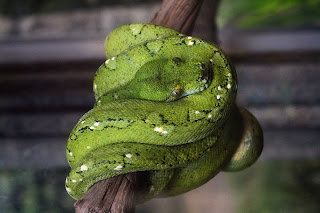 Beautiful Green Tree Python Or Emerald Tree Boa At Bali Bird Park Gianyar Bali