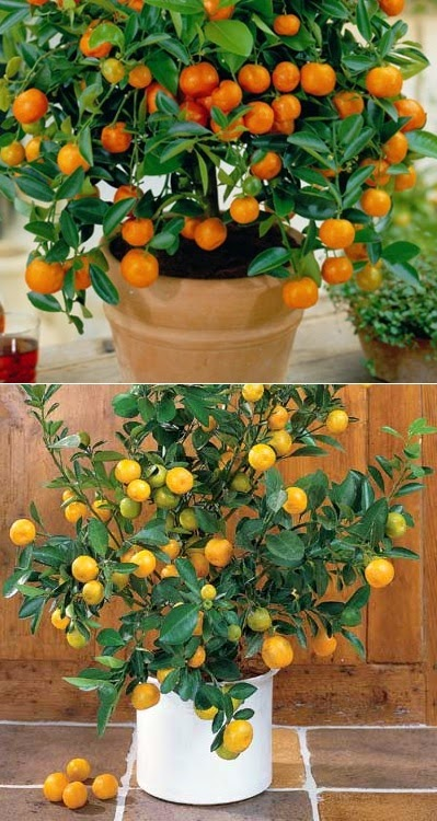How to grow citrus trees in a containers FruitGardening My