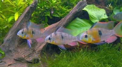Bolivia ram ikan hias air tawar