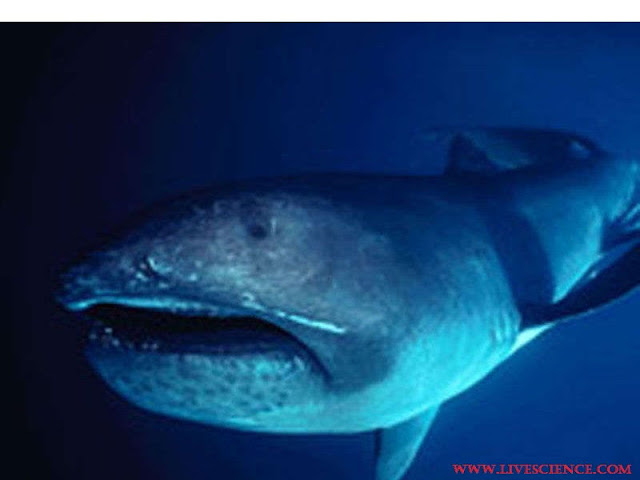 Megamouth Shark Adalah Jenis Ikan Laut Dalam Paling Menyeramkan, Predator Dan Unik