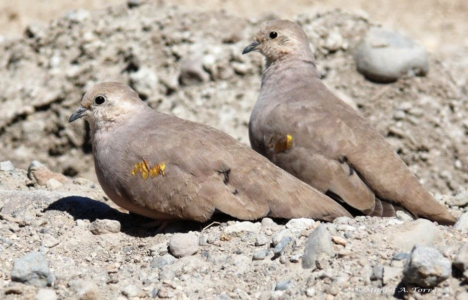 Golden spotted ground dove