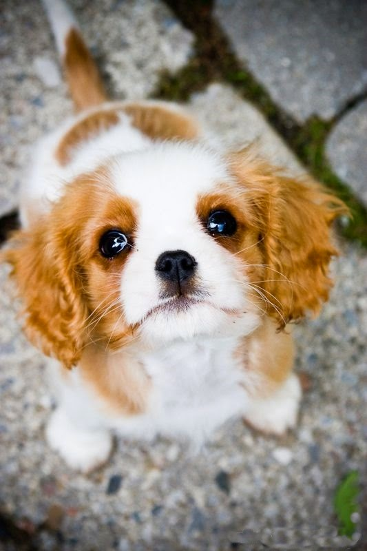 Charles spaniel puppy