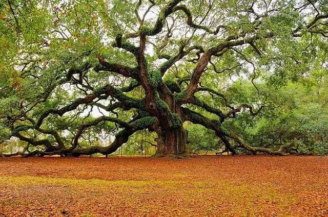 Kalpavriksha pohon kalpa
