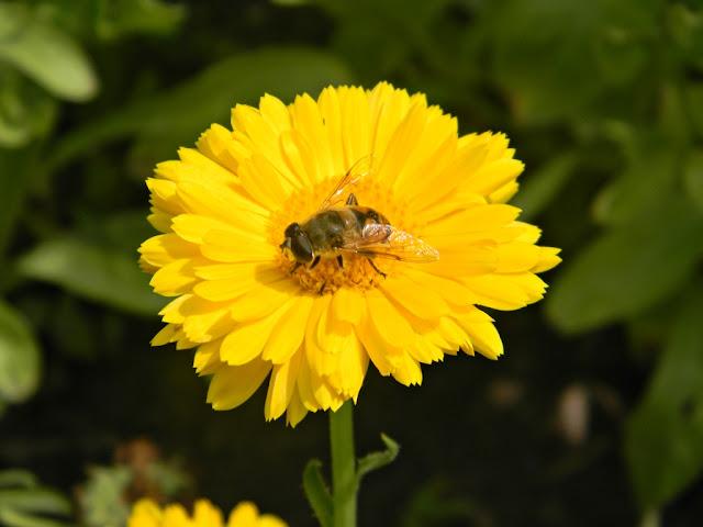 pszczoła, kwiat, ogród, rośliny ozdobne