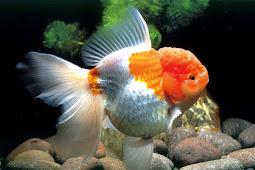 9 Jenis Ikan Mas Koki Yang Tergolong Mudah Dipelihara