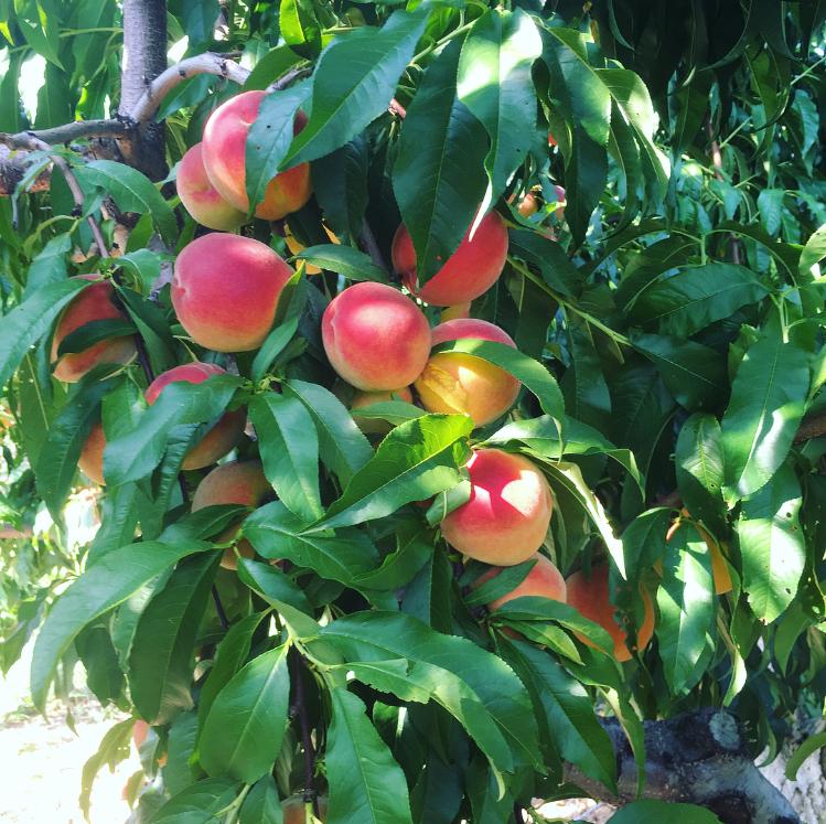 Peach Picking Alstede Farm