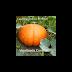 Bí lớn Big Moose  ( Big Moose Pumpkin ) ,Cucurbita maxima,CUC00126
