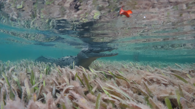 Crocodile in crystal clear water