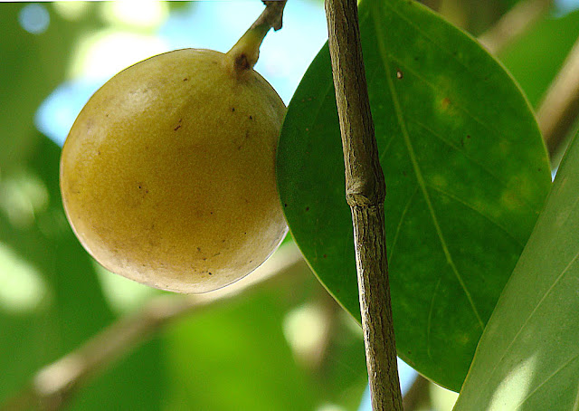 Frutto Mancinella