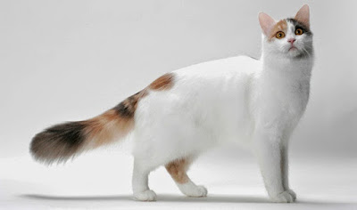 gato-van-turco-caracteristicas-raza