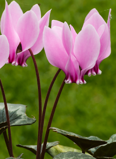 https://fr.wikipedia.org/wiki/Cyclamen